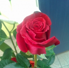 Rose from a loved one