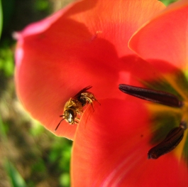 A tulip with a bee.
