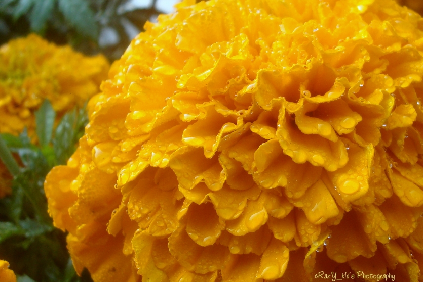 Marigold with dew drops in a winter morning
