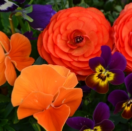 The Ranunculus and the violets 2