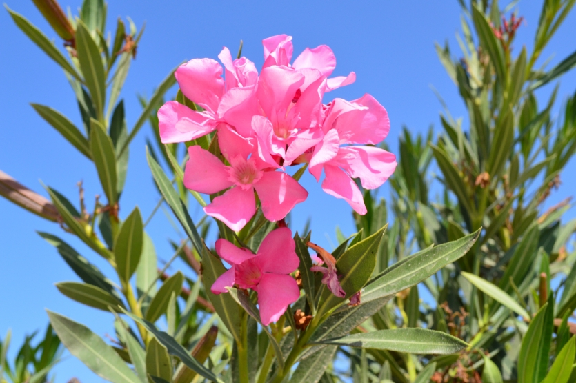 the beauty of oleander