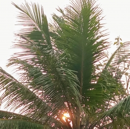 Through the coconut palms.