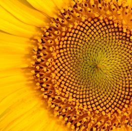 TEXTURE OF THE SUNFLOWER