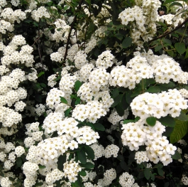 White flowering bush