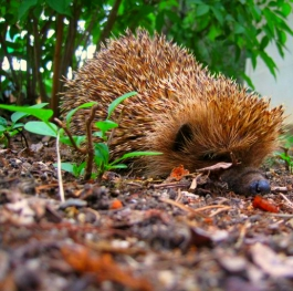 In the world of cute sticklebacks - Hedgehogs!