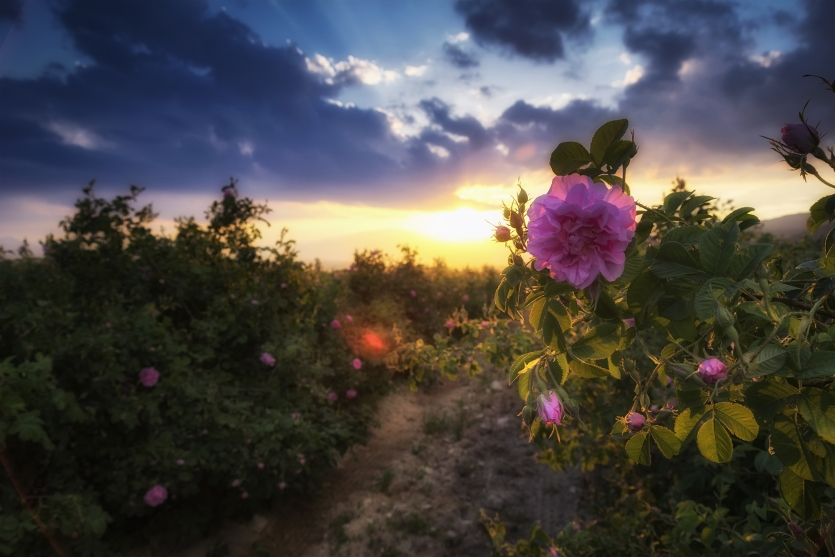 Sunset with a breath of roses