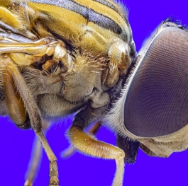 Eyes of Hoverfly