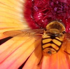 close up of a hover fly on a livingstone daisy.