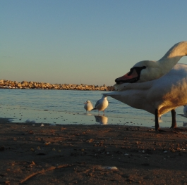 The story of the ugly duckling