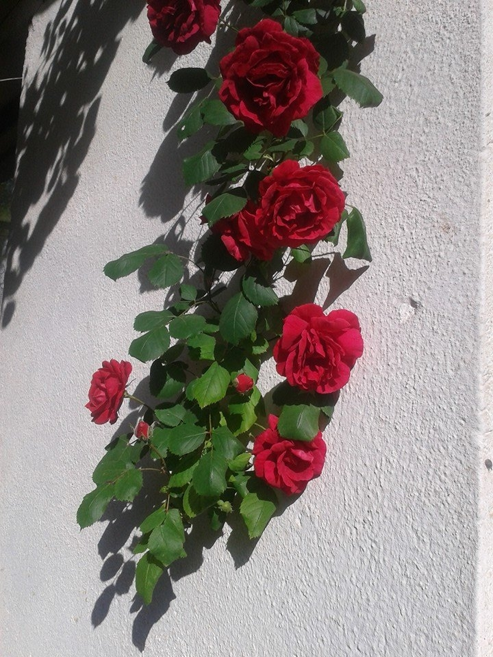 My mother's rose