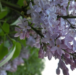 flowers of pink lilac