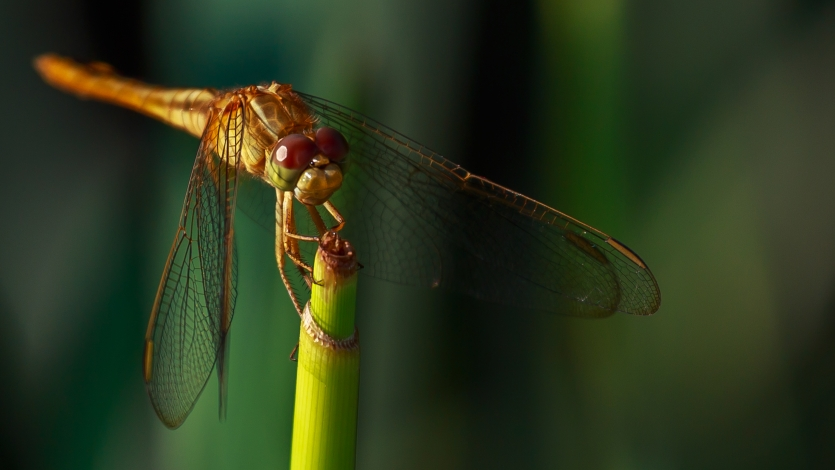 Dragonfly, Cautiously watching.......