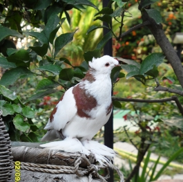 A lovely dove in Durassi, Albania