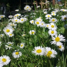 Daisies are like friends
