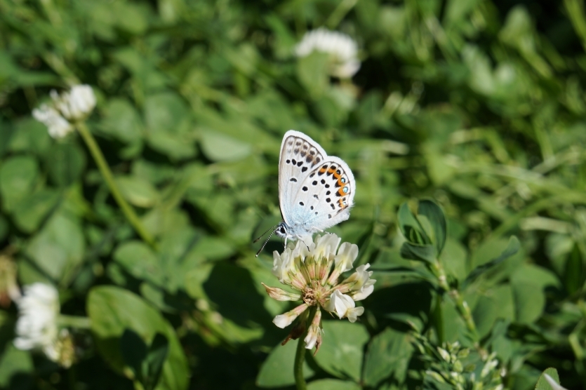 Butterfly on a clover