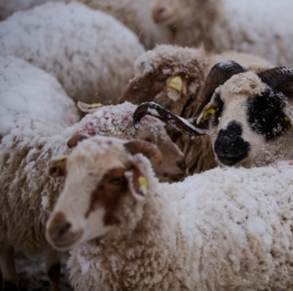 Sheeps in winter