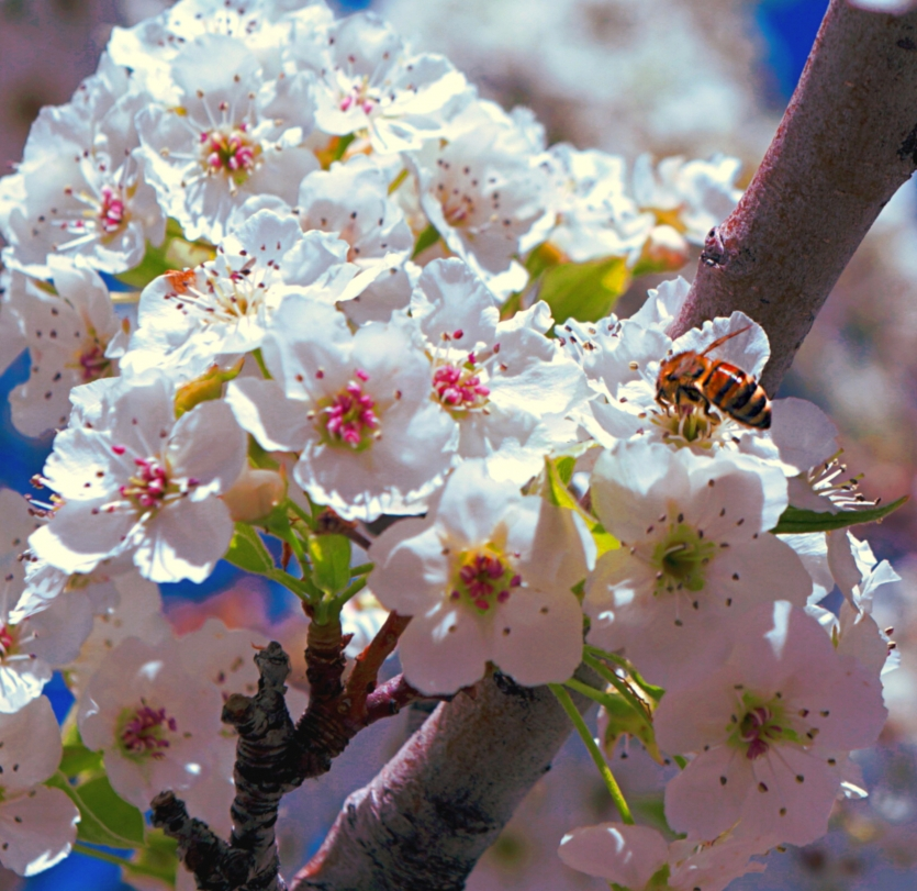 Blossoms and Bee