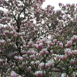 incredible blossoming magnolia