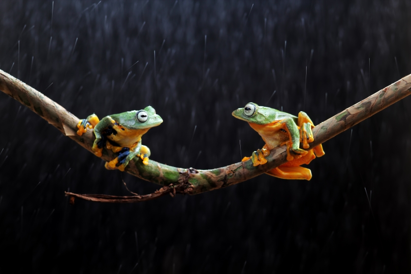 Wallace's flying frog on a branch