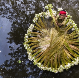 Harvesting waterlilies