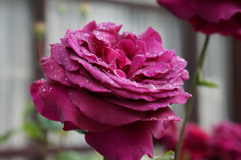Mountain dark red rose