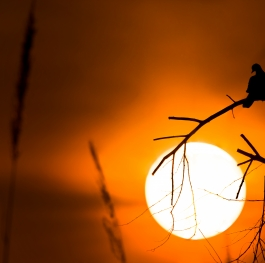 Dove and the Dying Sun