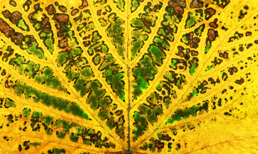 autumn vine leaf texture