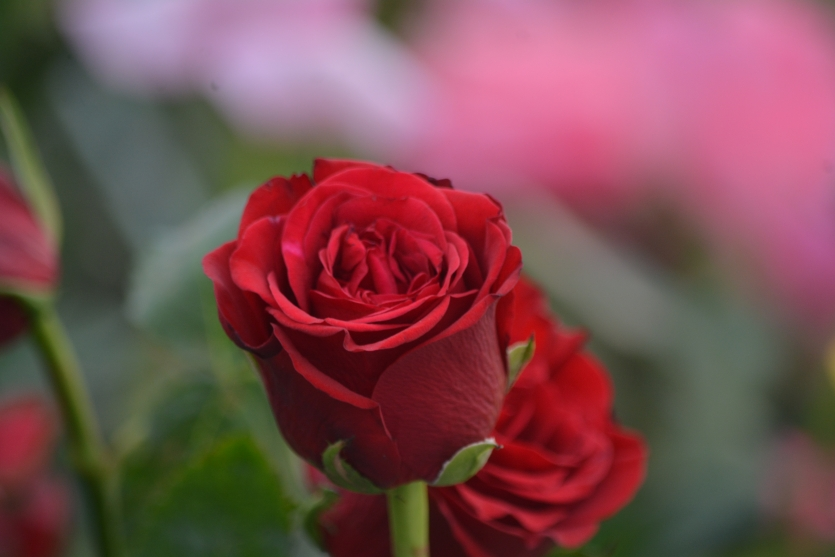 beauty of flower red rose