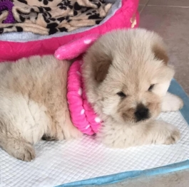 Bella, baby chow chow