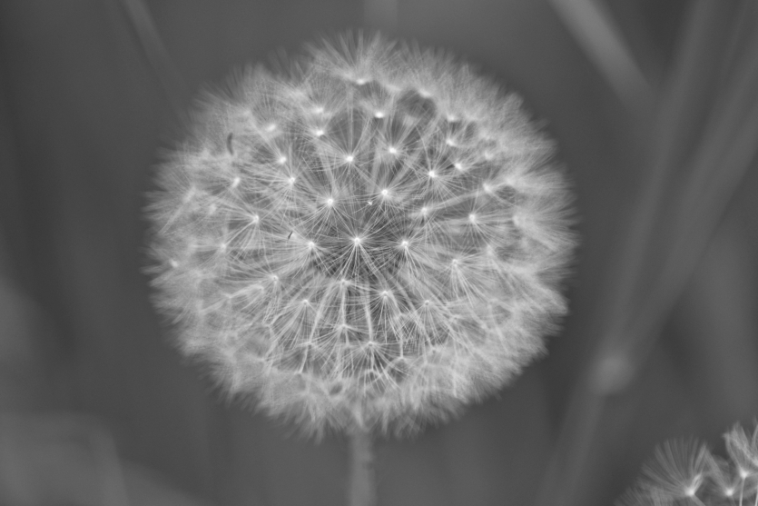 A dandelion! Must be the last one of the season :)