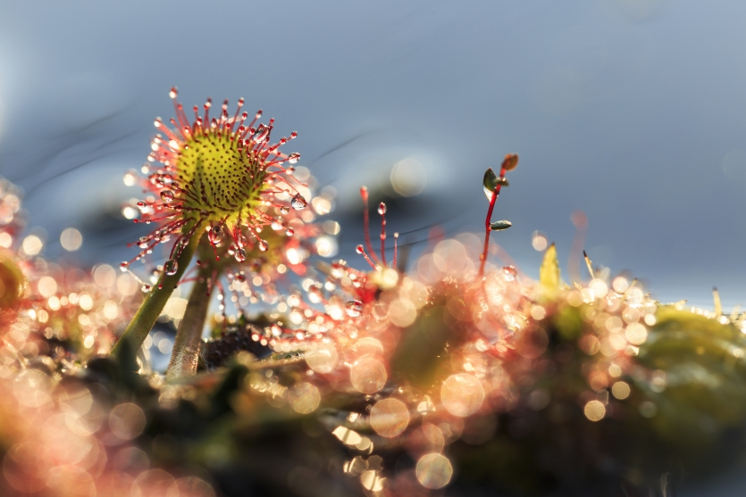 The round-leaved sundew