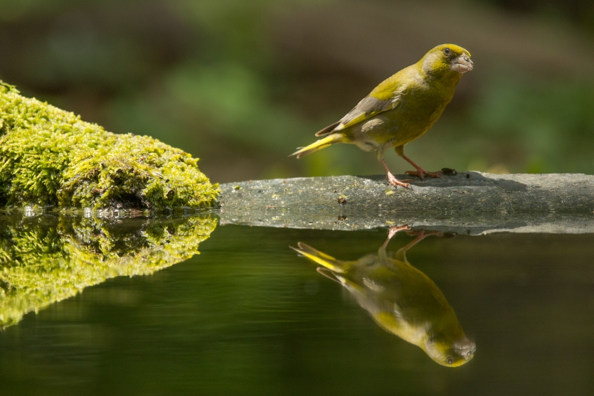 Green finch and green moss with reflection